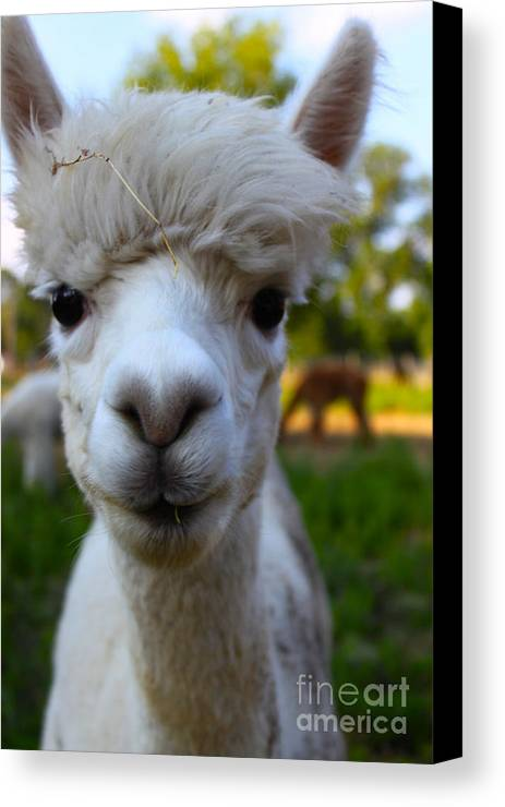 Animal Canvas Print featuring the photograph Alpaca Cutie Pie by Susan Riedl