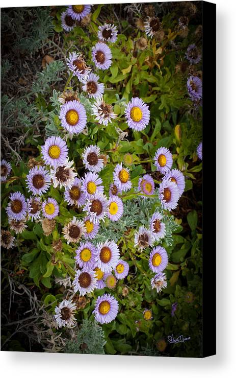 Highway 101 Canvas Print featuring the photograph Aster On The Beach by Steve Isaacs