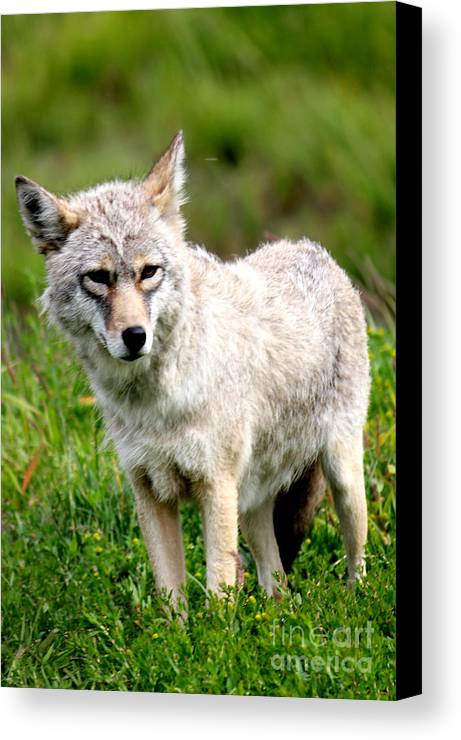 Coyote Canvas Print featuring the photograph Beautiful Coyote In Alaska by Kathy White
