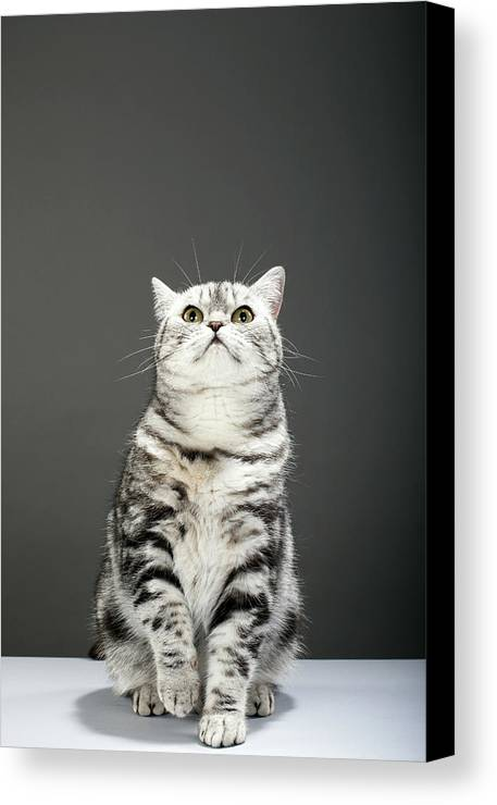 Vertical Canvas Print featuring the photograph Cat Looking Up by Martin Poole