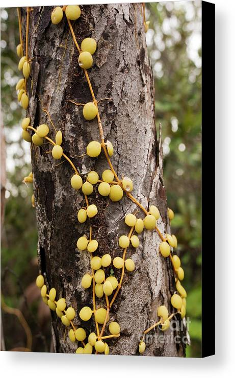 Plant Canvas Print featuring the photograph Climbing Plant On A Tree Trunk by Matthew Oldfield