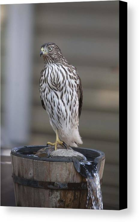 Young Canvas Print featuring the photograph Cooper's Hawk - Immature - 0002 by S and S Photo