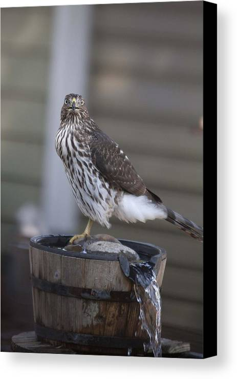 Young Canvas Print featuring the photograph Cooper's Hawk - Immature - 0010 by S and S Photo