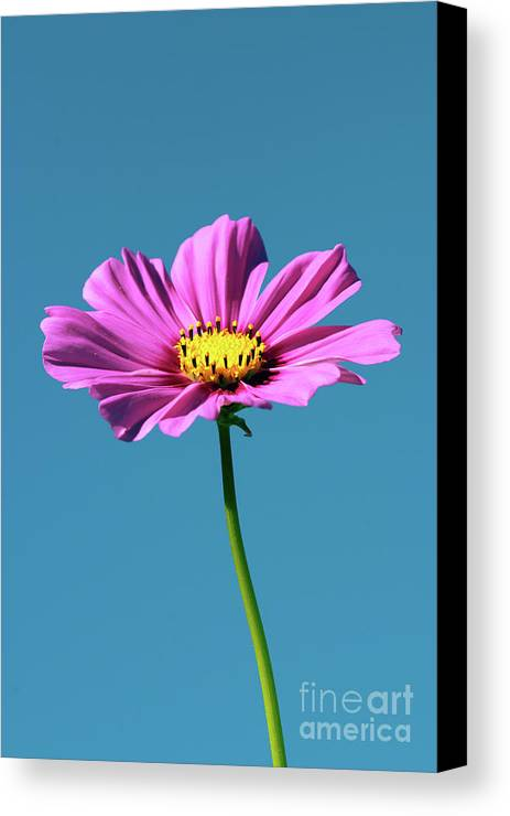 Flower Canvas Print featuring the photograph Cosmos Standing by Susan Isakson