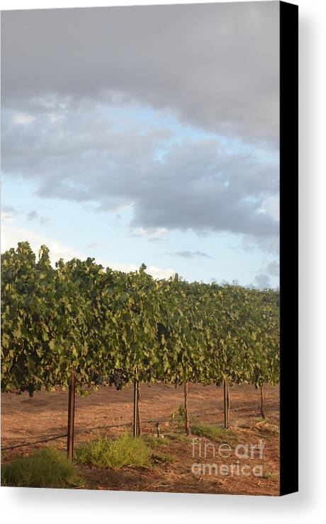 Cluster Canvas Print featuring the photograph Early Morning Vineyard by Timothy OLeary