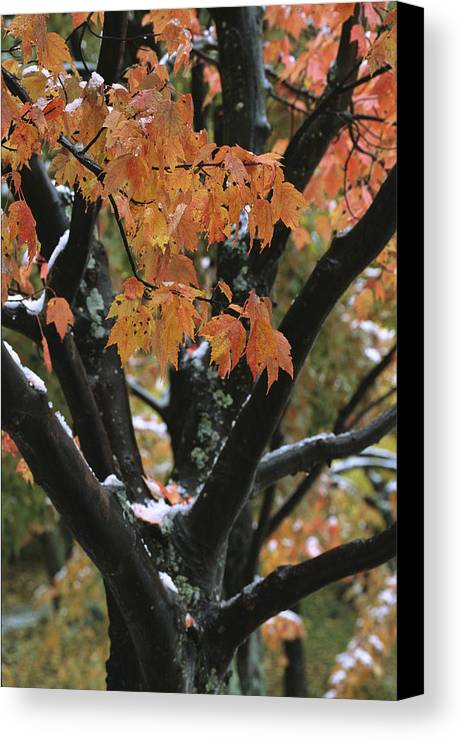 Outdoors Canvas Print featuring the photograph Fall Foliage Of Maple Tree After An by Tim Laman