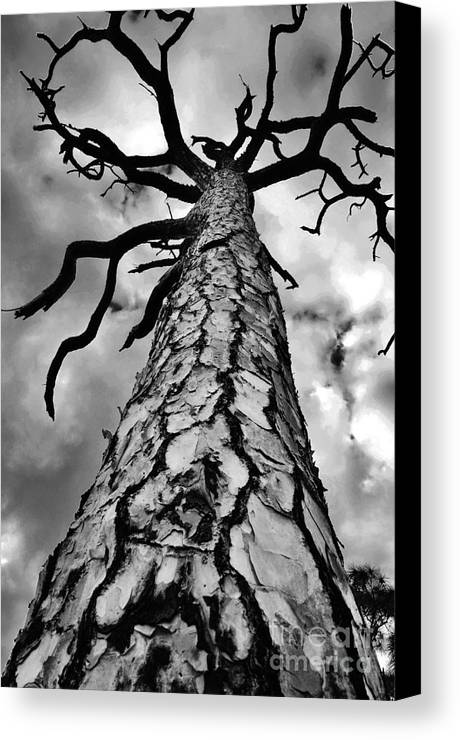 Pine Tree Canvas Print featuring the photograph Medusa Pine by Lynda Dawson-Youngclaus