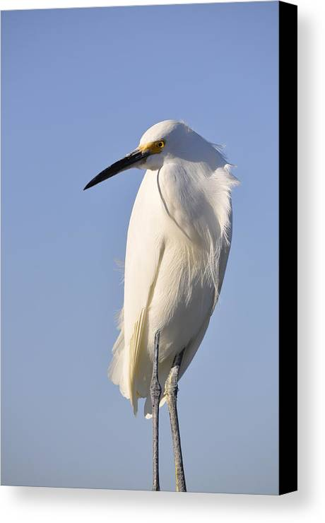 Snowy Egret Canvas Print featuring the photograph Not Ruffled by Christine Stonebridge