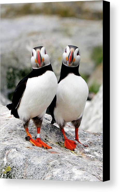 Vertical Canvas Print featuring the photograph Pair Of Puffins by Betty Wiley