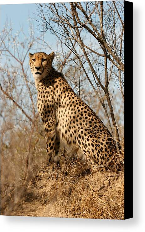 Africa Canvas Print featuring the photograph Proud Cheetah by Mike Horvath