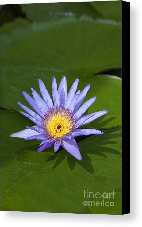 Alone Canvas Print featuring the photograph Purple Yellow Lotus Flower by Roberto Morgenthaler