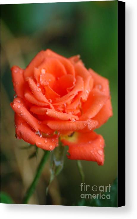 Rose Canvas Print featuring the photograph Radiating by Rose Jones