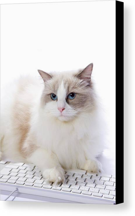 Vertical Canvas Print featuring the photograph Ragdoll Cat And Keyboard Of The Pc by Ultra.f