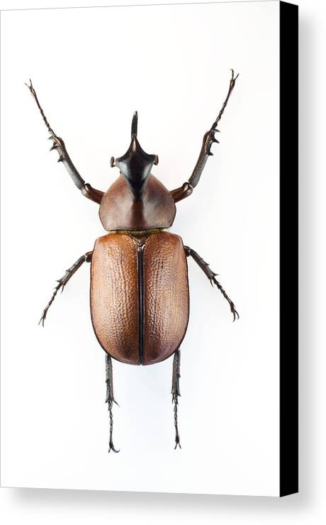 Golofa Pizarro Canvas Print featuring the photograph Rhinoceros Beetle by Lawrence Lawry