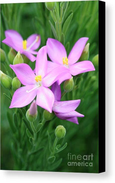 Sea Rose Canvas Print featuring the photograph Sea Rose Flower by Neil Overy