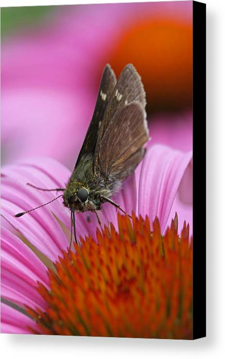 Moth Canvas Print featuring the photograph Skipper Moth Macro Photography by Juergen Roth