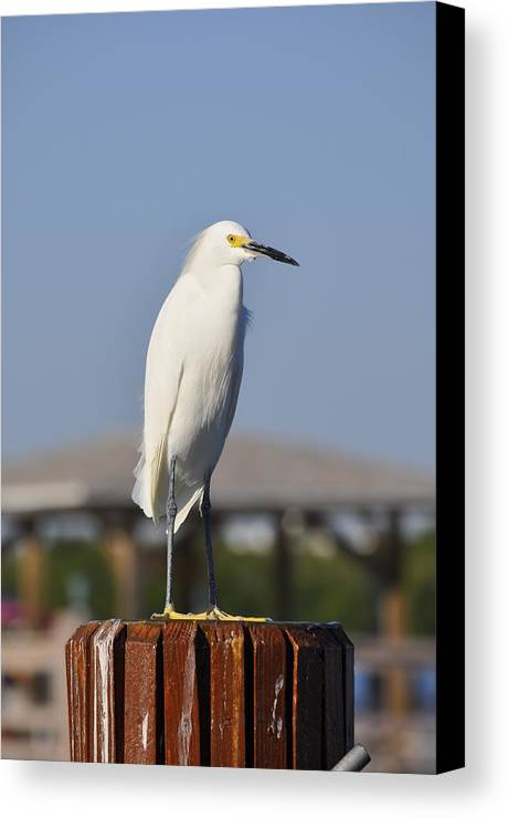 Snowy Egret Canvas Print featuring the photograph Snowy Egret Stare Down by Christine Stonebridge