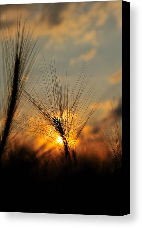 Morning Canvas Print featuring the photograph Whisper Grass by Rusty Enderle