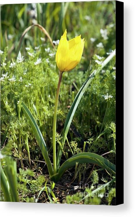 Wild Tulip Canvas Print featuring the photograph Wild Tulip (tulipa Sylvestris) by Bob Gibbons