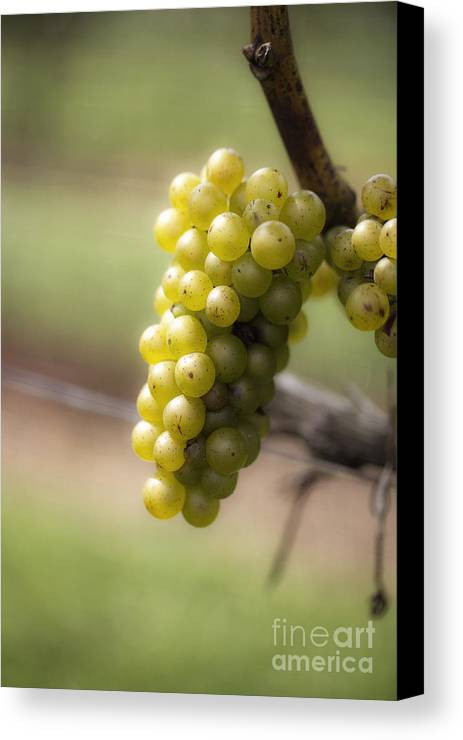 Grapes Canvas Print featuring the photograph Wine Grapes by Leslie Leda