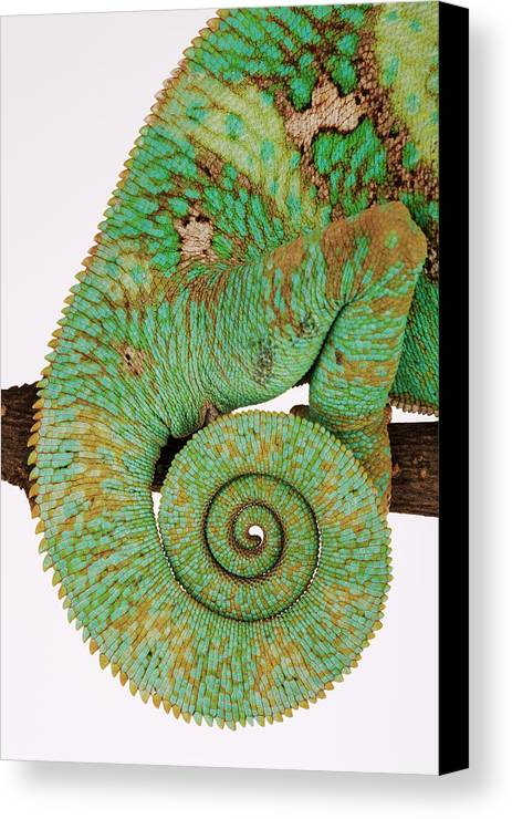 Vertical Canvas Print featuring the photograph Yemen Chameleon, Close-up Of Coiled Tail by Martin Harvey