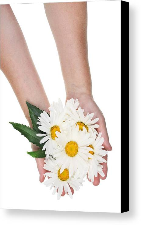 Daisy Canvas Print featuring the photograph Giant Daisies For The Cosmetic Industry by Aleksandr Volkov