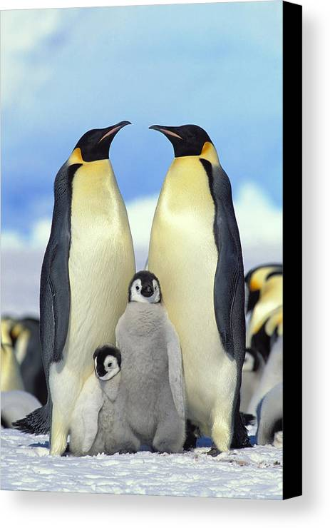 Mp Canvas Print featuring the photograph Emperor Penguin Aptenodytes Forsteri by Konrad Wothe