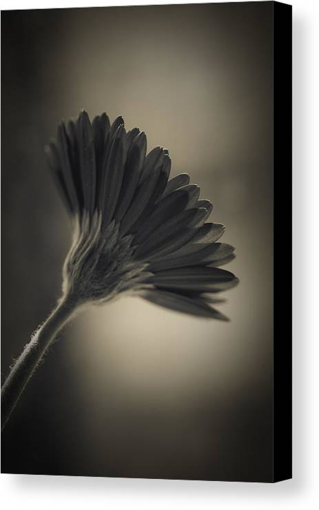 Atmospheric Canvas Print featuring the photograph Gerbera by Maria Heyens