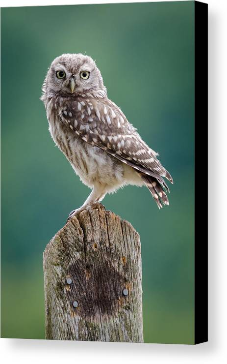 Athene Noctua Canvas Print featuring the photograph Little Owl by Phil Scarlett