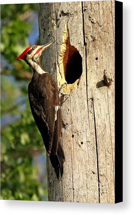 Woodpecker Canvas Print featuring the photograph Pileated #26 by James F Towne