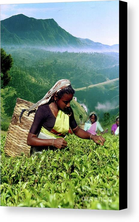Canvas Print featuring the photograph Tea Pluckers by Sarath Dissanayake