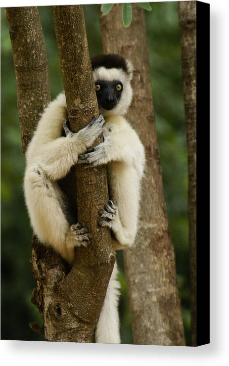 Madagascar Canvas Print featuring the photograph Verreaux's Sifaka by Michele Burgess