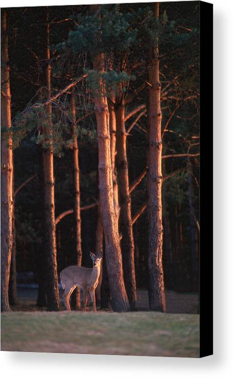 Deer Canvas Print featuring the photograph White-tail Deer by Raju Alagawadi