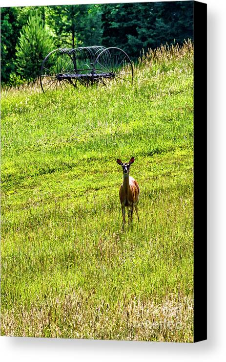Whitetail Deer Canvas Print featuring the photograph Whitetail Deer And Hay Rake by Thomas R Fletcher