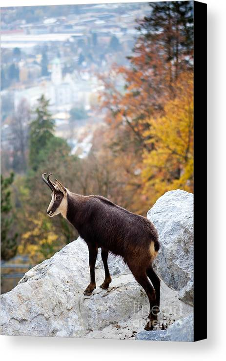 Alone Canvas Print featuring the photograph Goat In The Austrian Alps by Andre Goncalves