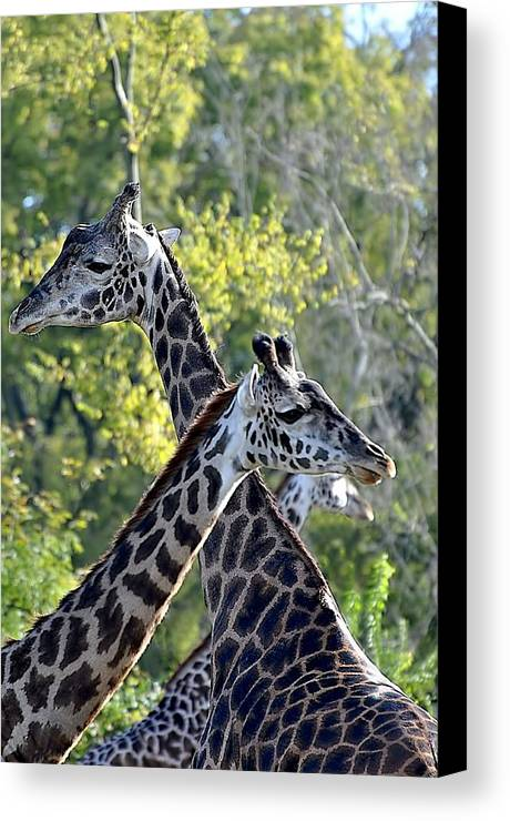 Animals Canvas Print featuring the photograph 3 Heads Are Better Than 1 by Jan Amiss Photography
