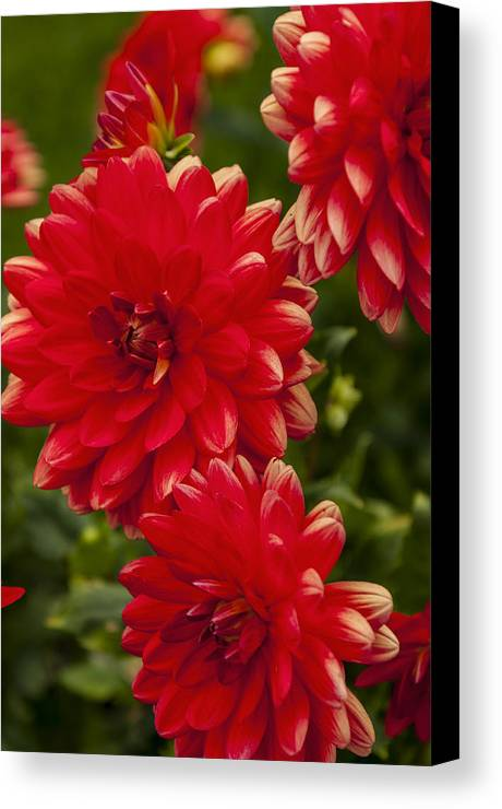 Red Canvas Print featuring the photograph Red Flower Close Up by Enrico Della Pietra