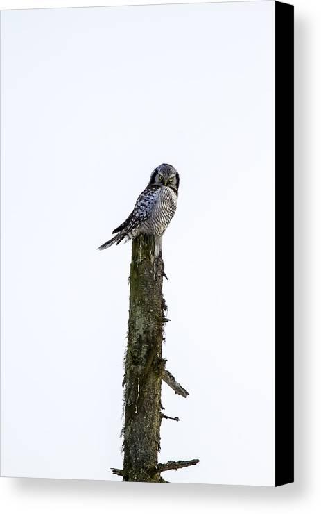 Hawk Canvas Print featuring the photograph Hawk Owl by Borje Olsson