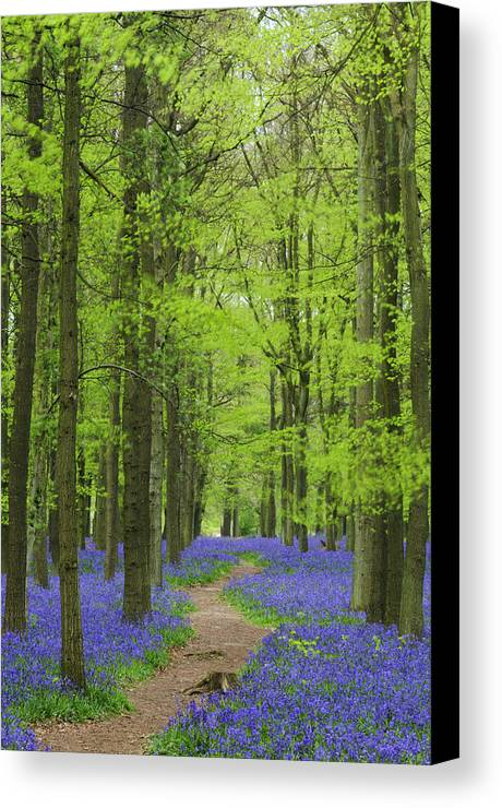 Bluebell Canvas Print featuring the photograph Bluebell Wood by Liz Pinchen