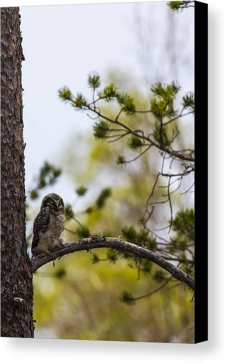 Hawk Canvas Print featuring the photograph Hawk Owl by Borje Olsson