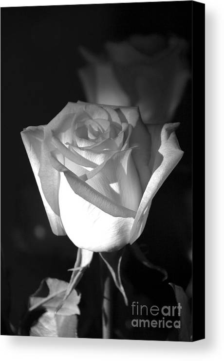 Rose Canvas Print featuring the photograph A Rose by Kenneth Hess