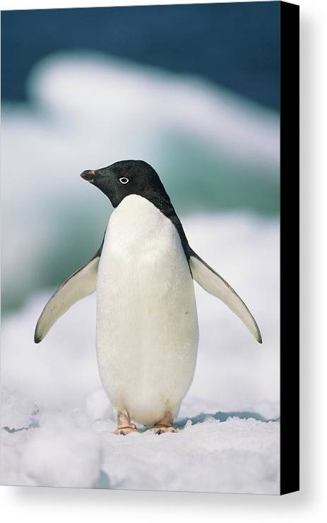 Vertical Canvas Print featuring the photograph Adelie Penguin, Close-up by Tom Brakefield
