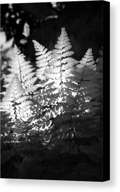 Fern Canvas Print featuring the photograph After Glow by Randy Oberg