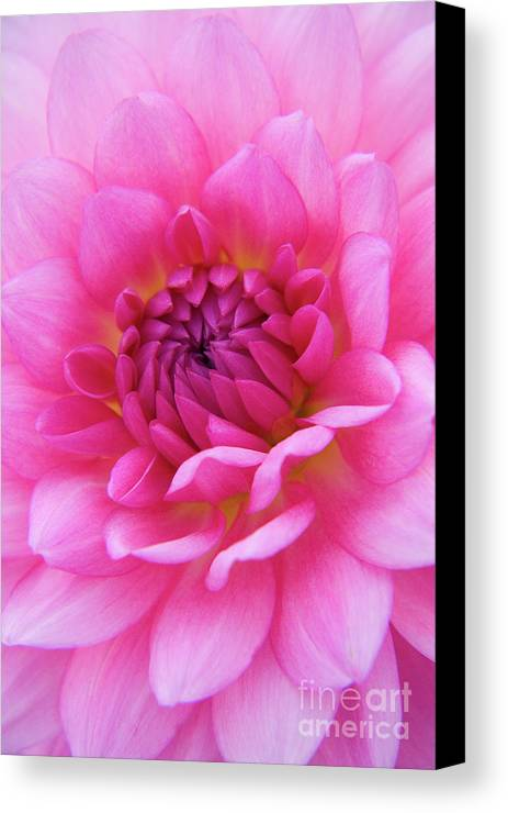 Nature Canvas Print featuring the photograph Amaranthine by Julia Hiebaum