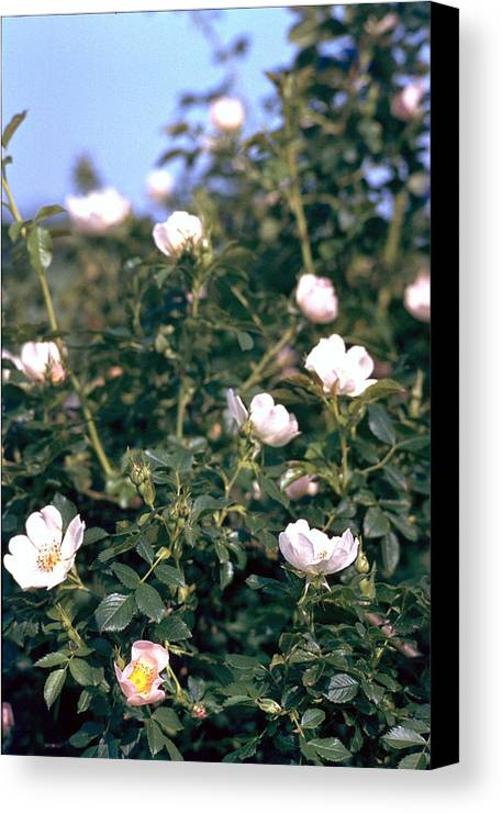Anemone Canvas Print featuring the photograph Anemone by Flavia Westerwelle