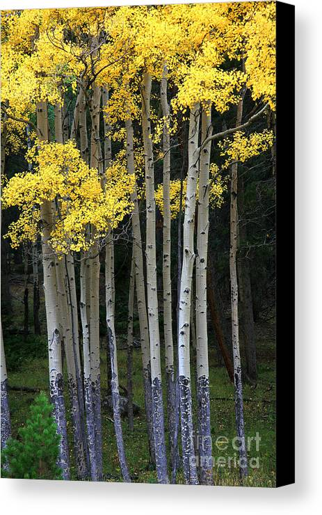 Aspens Canvas Print featuring the photograph Aspen Stand by Timothy Johnson