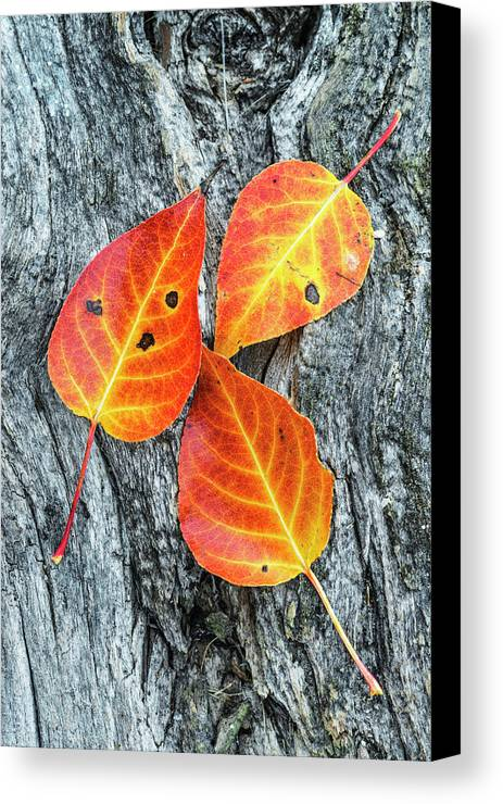 Autumn Leaves Canvas Print featuring the photograph Autumn Leaves On Tree Bark by Vishwanath Bhat