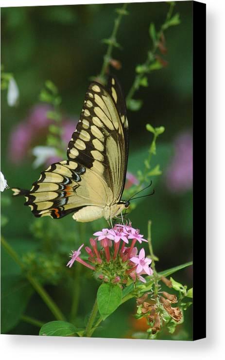 Butterflies Canvas Print featuring the photograph Balancing Act by Robert Anschutz