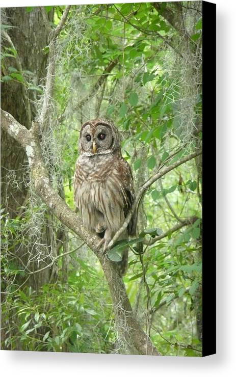 Nature Canvas Print featuring the photograph Barred Owl I by Kathy Schumann