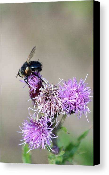 Bee Canvas Print featuring the photograph Bee On Thistle by Darla Wells